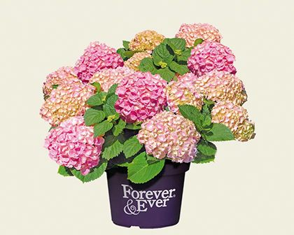 Hydrangea macrophylla 'Forever and Ever' roze - hortensia