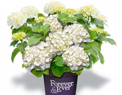 Hydrangea macrophylla 'Forever and Ever' wit
