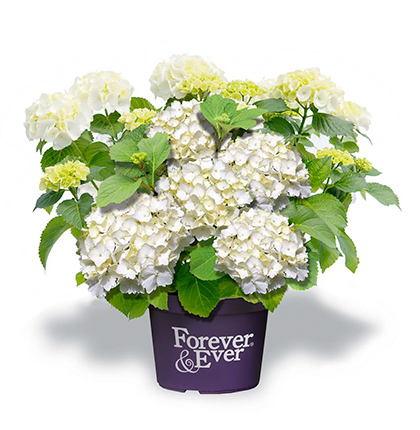 Hydrangea macrophylla 'Forever and Ever' wit - hortensia