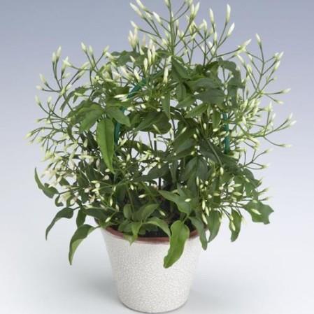 Jasminum polyanthum - jasmijn