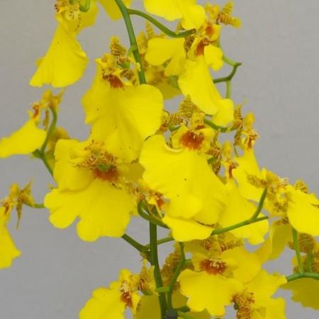 Oncidium - Tijgerorchidee
