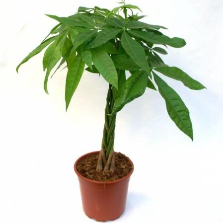 Pachira kamerplant
