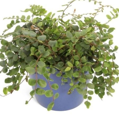 Pellaea rotundifolia - dubbeltjesvaren