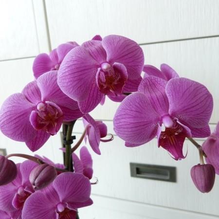Phalaenopsis - Orchidee