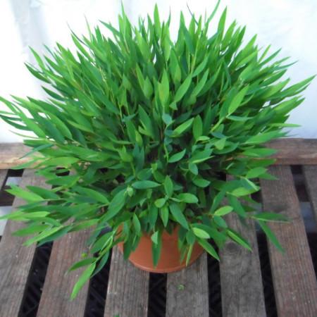 Pogonatherum 'Monica' - Kamerbamboe