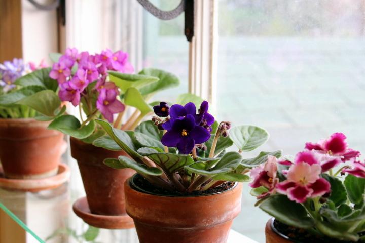 Saintpaulia - Kaaps viooltje