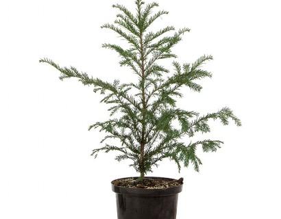 Taxus baccata pot 60/80