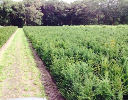 Taxus baccata voor hagen. Nu kopen en planten.