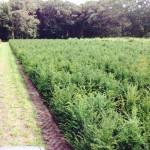 Hagen planten met Taxus baccata of venijnboom.