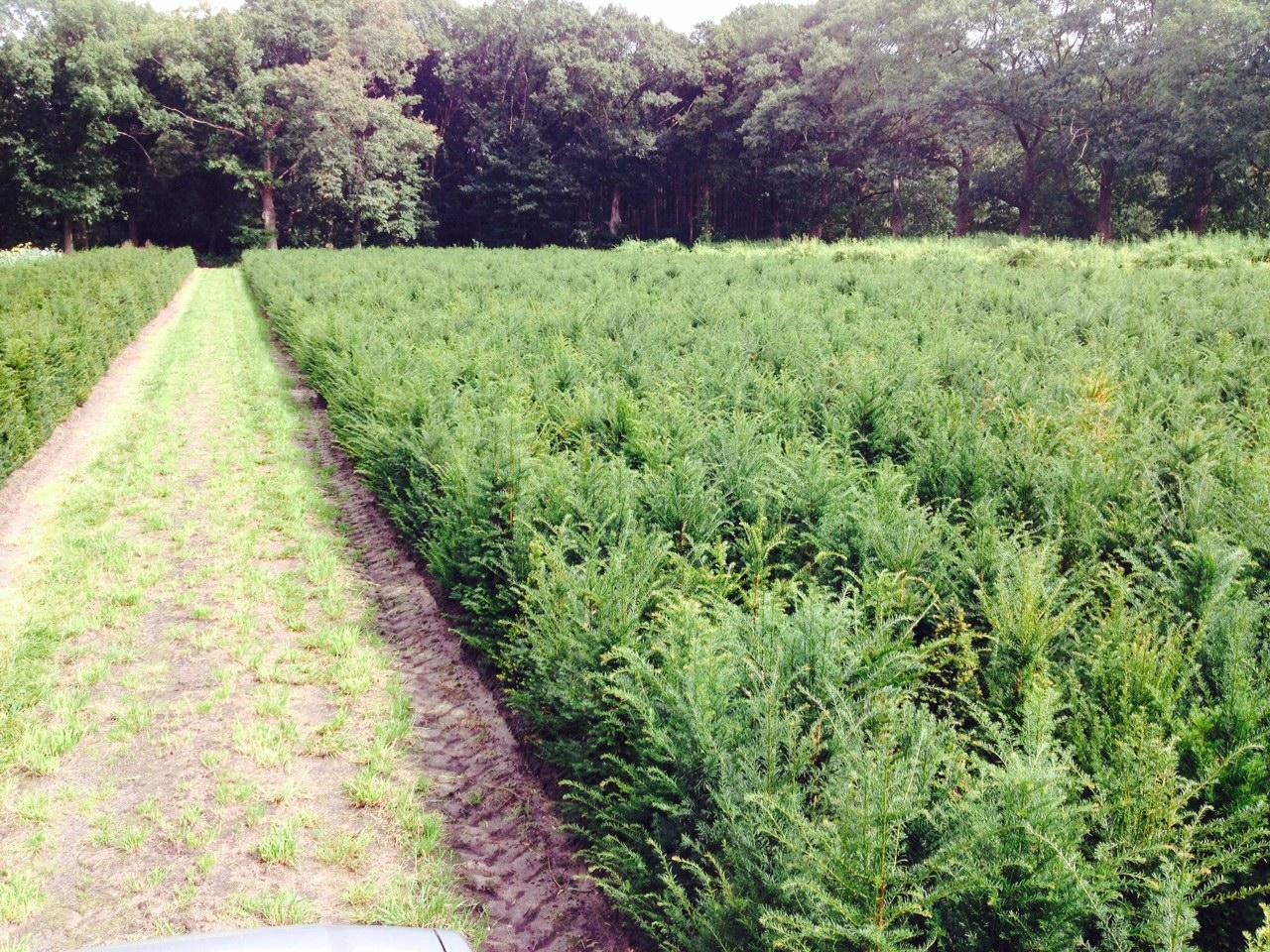 Hagen planten met Taxus baccata of venijnboom