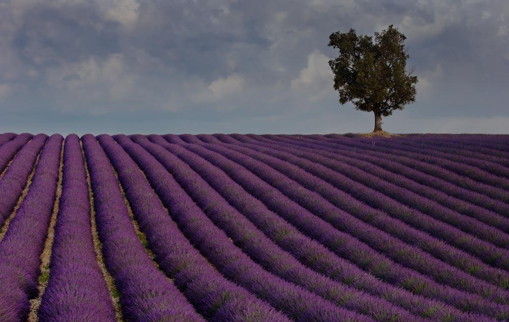 lavendel veld in Frankrijk