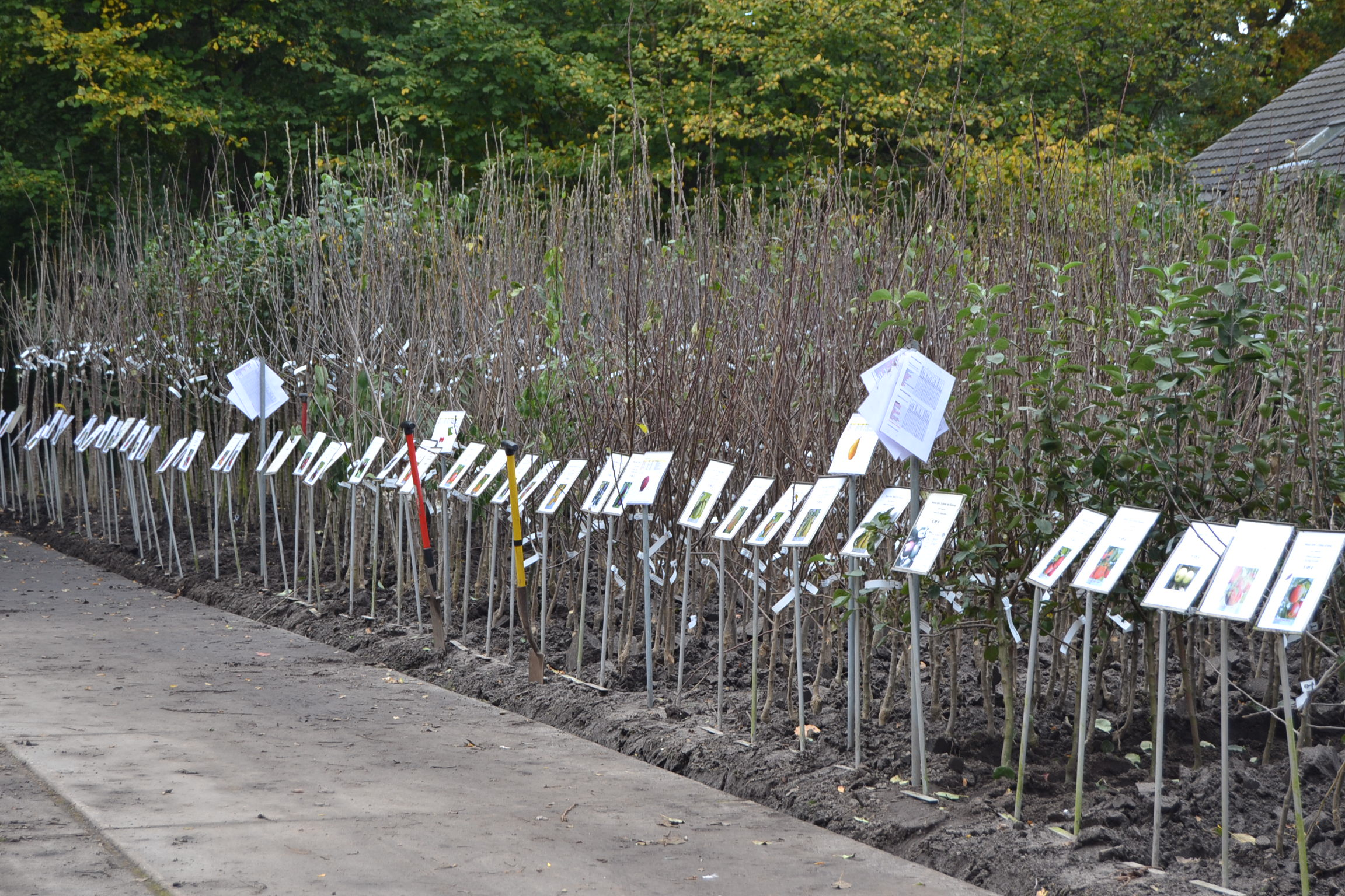 buitenafdeling Maréchal fruitbomen blote wortel.