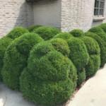 Wanneer mag ik mijn Buxus verplanten?