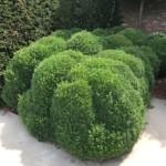Buxus struiken om hagen of wolken te vormen.
