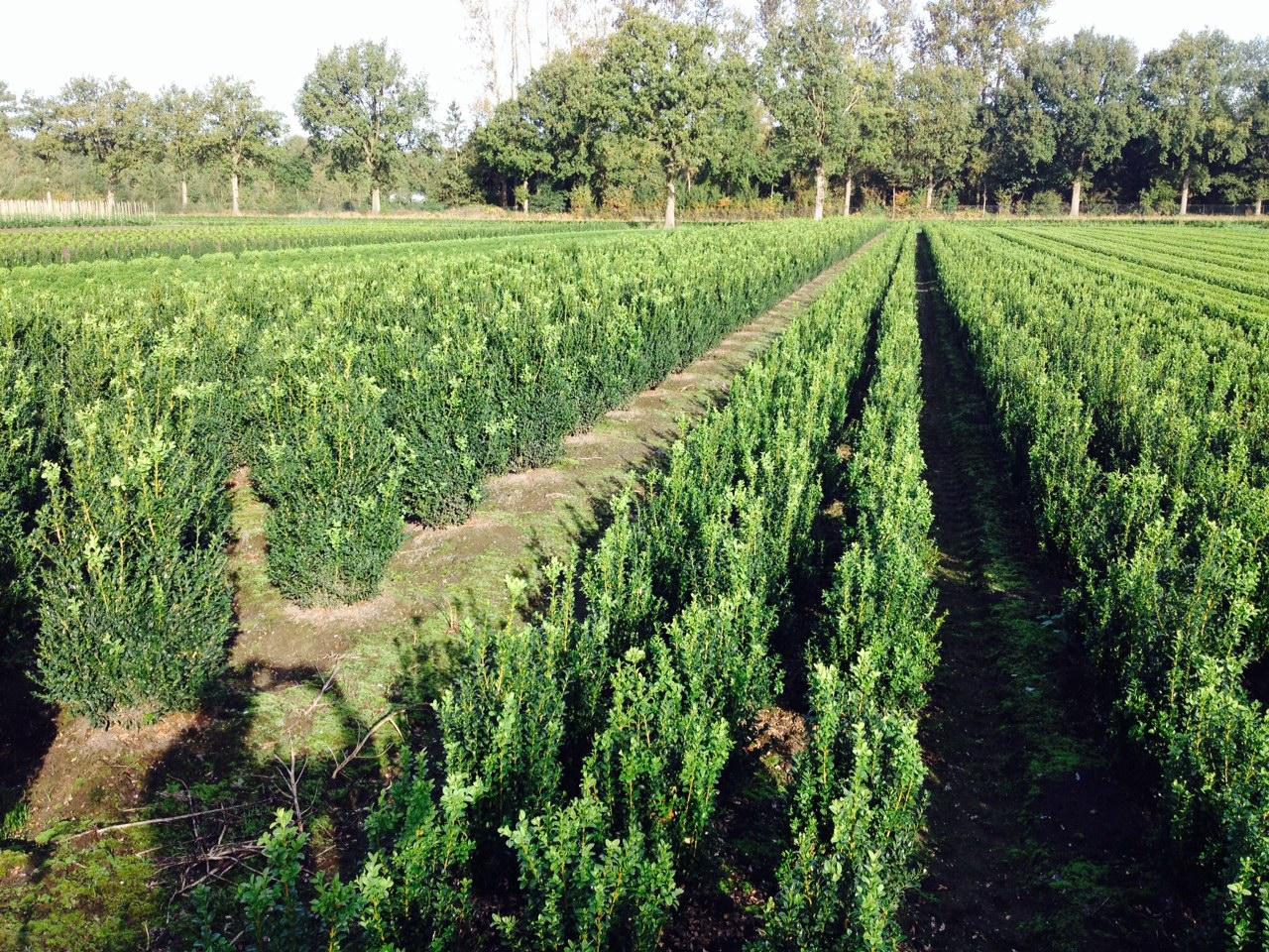 boomkwekerij Maréchal Buxus struiken