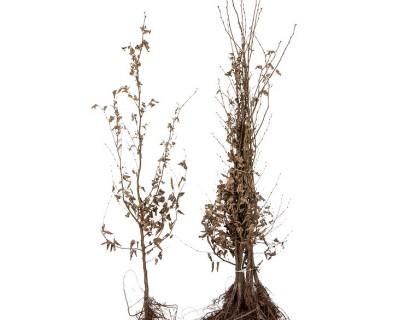 Carpinus betulus 125/150 cm