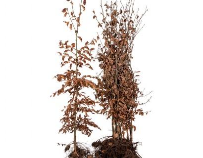 Fagus sylvatica 125/150 cm groene beuk