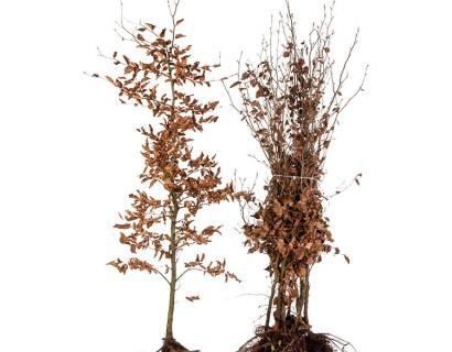 Fagus sylvatica 150/175 cm groene beuk