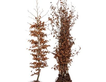 Fagus sylvatica 175/200 cm - groene beuk