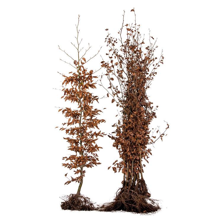sylvatica blote wortel 150/175 (10/pak).