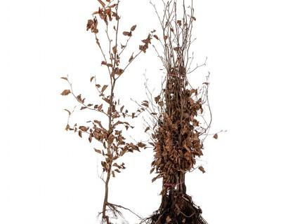 Fagus sylvatica 'Purpurea' 100/125