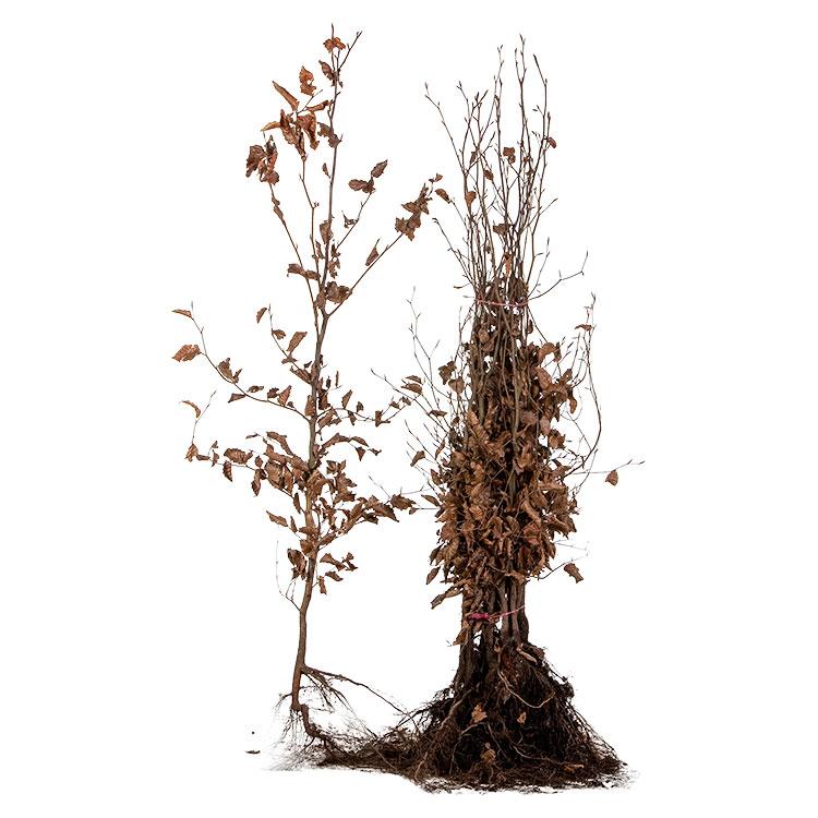 Fagus sylvatica 'Purpurea' blote wortel 100/125