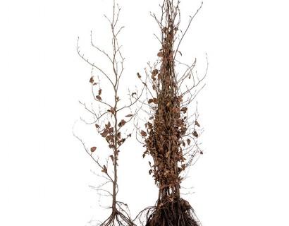 Fagus sylvatica 'Purpurea' 125/150 cm rode beuk