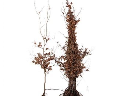 Fagus sylvatica 'Purpurea' 150/175
