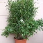 Bamboe die niet woekert: Fargesia murieliae 'Superjumbo'.