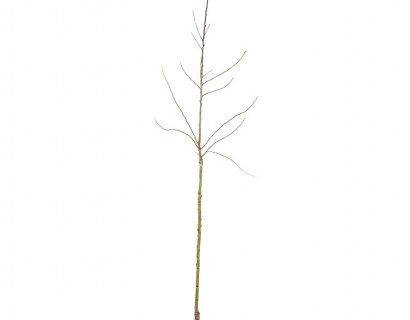 Fruitbomen halfstam blote wortel