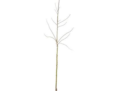 Fruitbomen halfstam blote wortel - peer