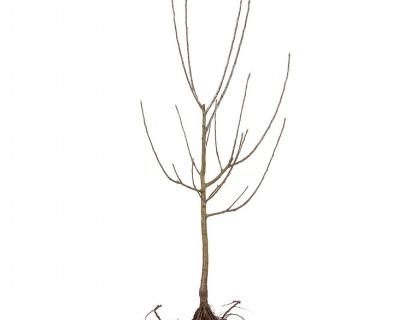 Fruitbomen laagstam blote wortel