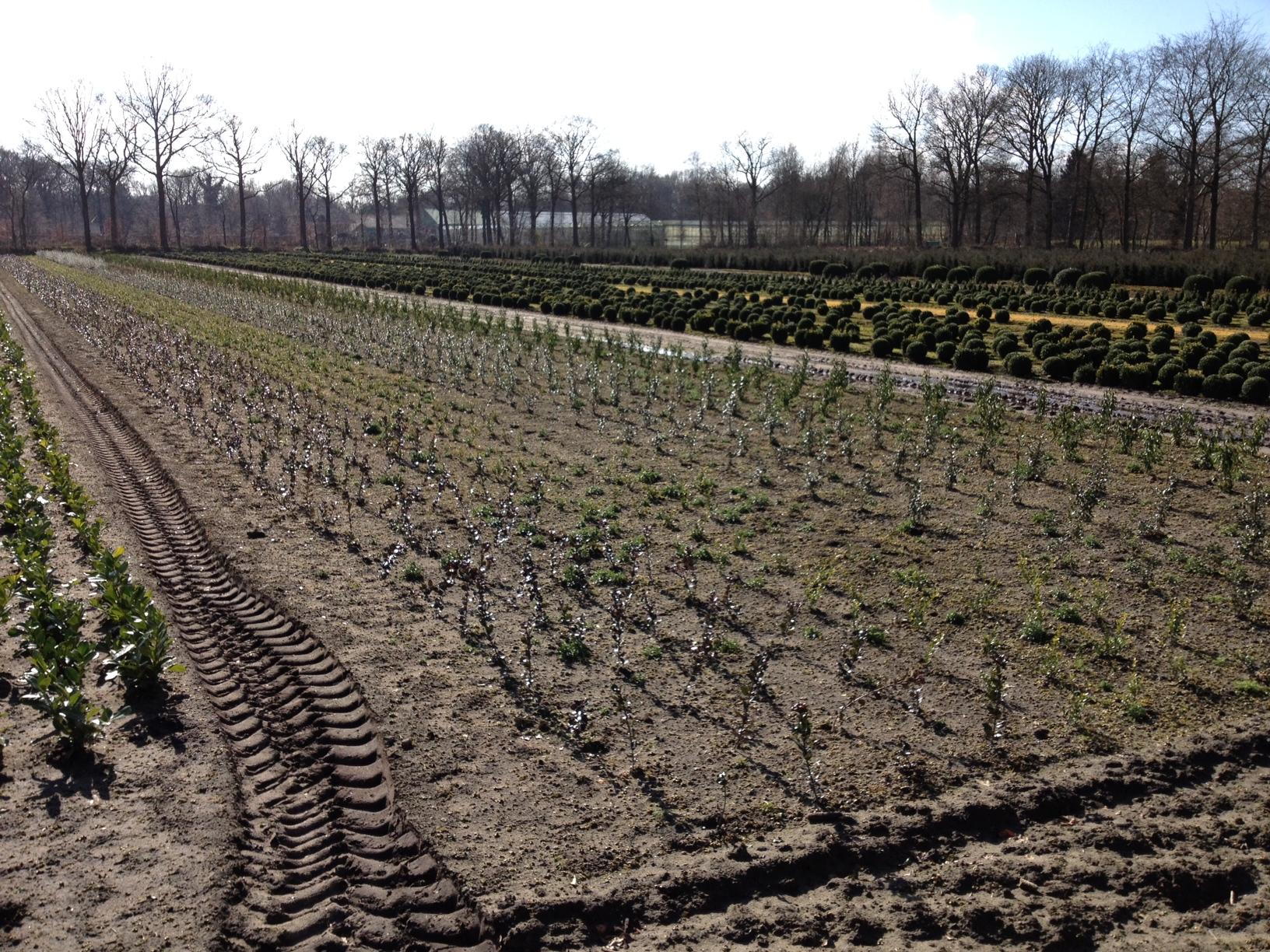 boomkwekerij Maréchal (hulst soorten)