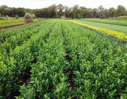 Grote groenblijvende planten, laurier voor een gemakkelijke haag met weinig onderhoud.