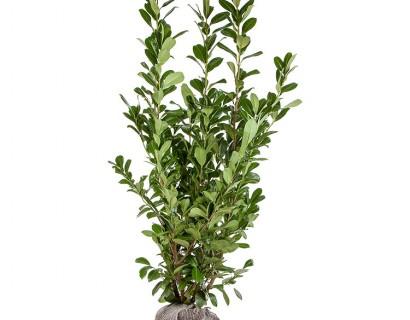 Prunus laurocerasus 'Rotundifolia' kluit 175/200 cm - gewone laurier, paplaurier