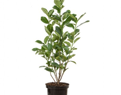 Prunus laurocerasus 'Rotundifolia' pot 3 liter