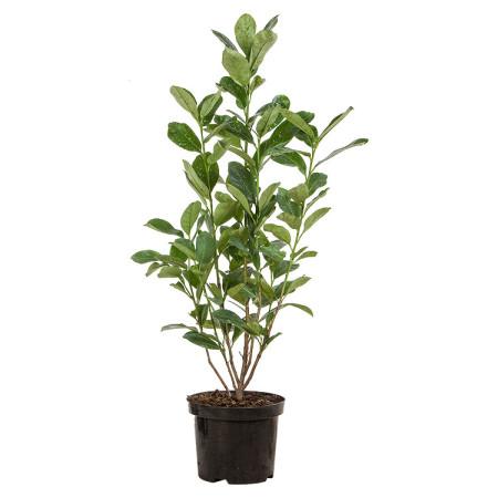 Prunus laurocerasus 'Rotundifolia' pot 3 liter 60/80 cm - gewone laurier, paplaurier