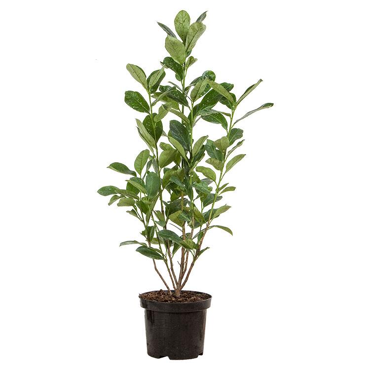 Prunus laurocerasus 'Rotundifolia' c3 60/80