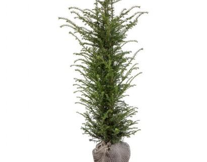 Taxus baccata kluit 125/150 cm - venijnboom