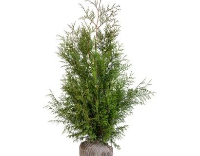 Thuja plicata 'Martin' 100/125 cm - levensboom, groene haagconifeer