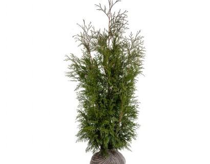 Thuja plicata 'Martin' kluit 125/150 cm - levensboom, groene haagconifeer