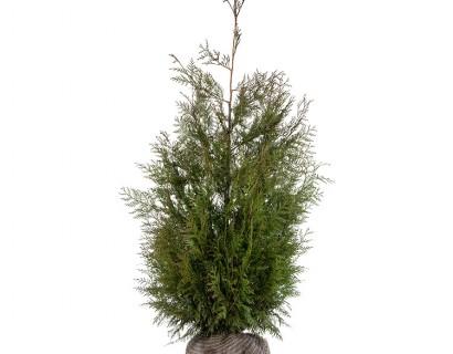 Thuja plicata 'Martin' kluit 150/175 cm - levensboom, groene haagconifeer
