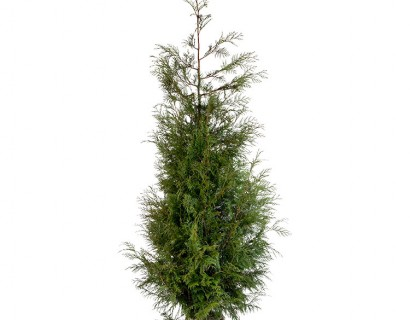 Thuja plicata 'Martin' kluit 200/250 cm - levensboom, groene haagconifeer