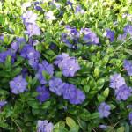 Een bloeiende bodembedekker met weinig onderhoud: Vinca minor maagdenpalm.