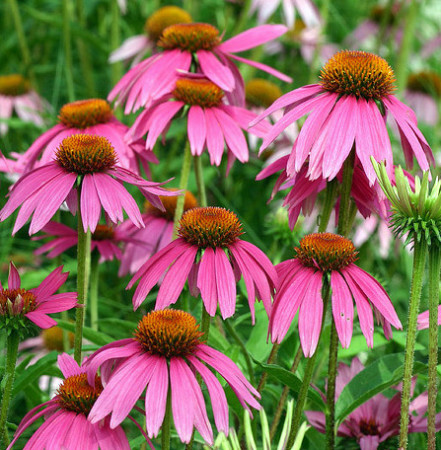 Echinacea 'Red Knee High' (grote pot) - zonnehoed