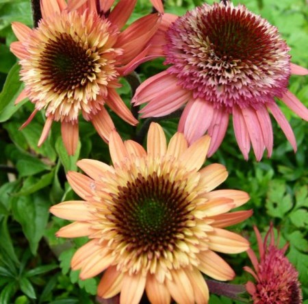 Echinacea 'Raspberry Truffle' (grote pot) - zonnehoed