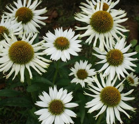 Echinacea 'White Spider' (grote pot) - zonnehoed