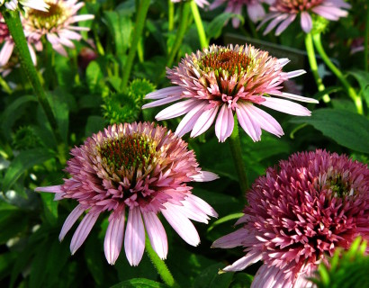 Echinacea 'Butterfly Kisses' pot 3 liter - zonnehoed