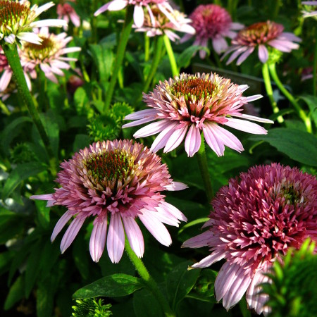 Echinacea 'Butterfly Kisses' (grote pot) - zonnehoed