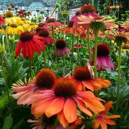 Echinacea 'Cheyenne Spirit' (grote pot) - zonnehoed